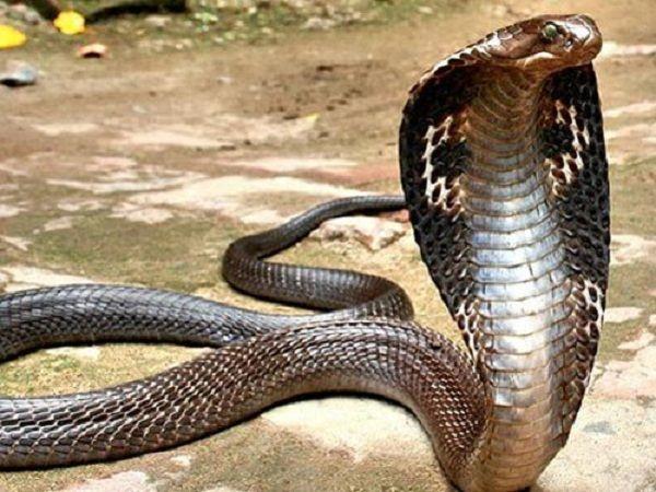 Những con số đề liên quan tới giấc mơ thấy rắn hổ mang