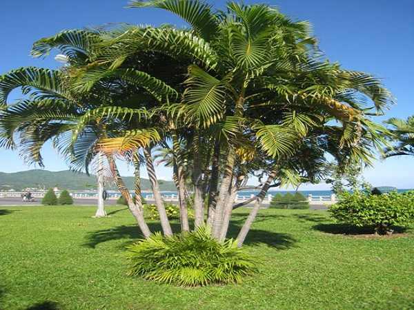Chiêm bao thấy cây dừa dự đoán tương lai