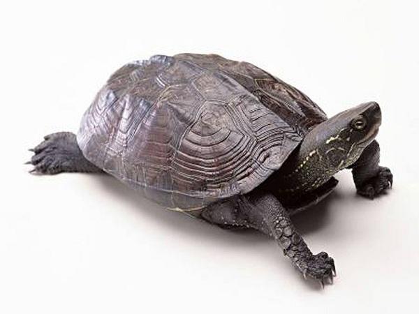 Ý nghĩa của Rùa phong thủy? Cách bố trí rùa phong thủy?