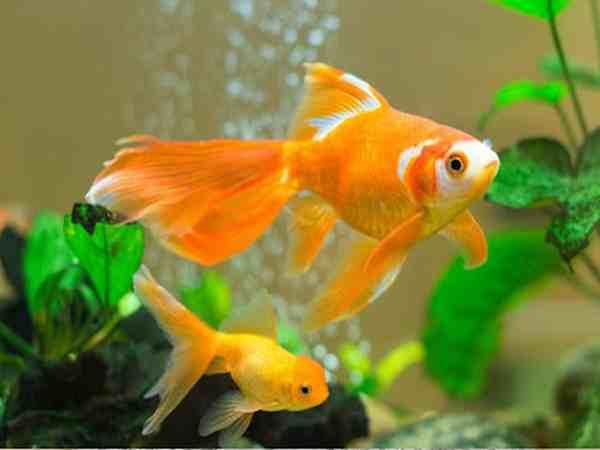 Những lưu ý cần nhớ khi nuôi cá cảnh trong nhà