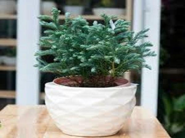 Bạn có biết cây Tuyết Tùng hợp mệnh gì không?