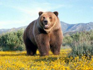 Ngủ mơ thấy con gấu là điềm hên hay xui ? Đánh con gì chắc trúng?