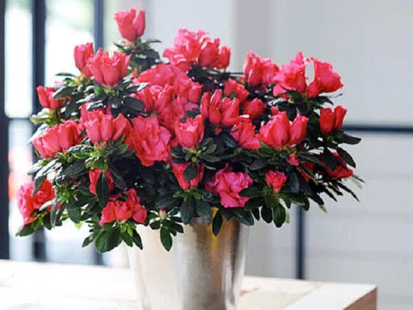 Cây hoa đỗ quyên hợp mệnh gì?