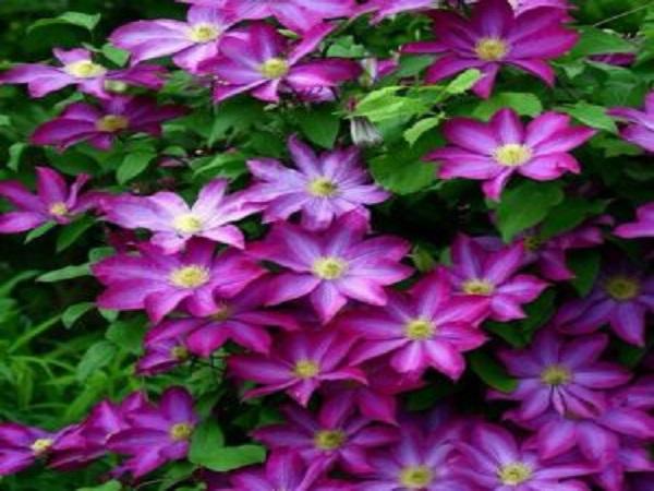 Cây hoa ông lão hợp mệnh gì? Ý nghĩa của cây là gì?