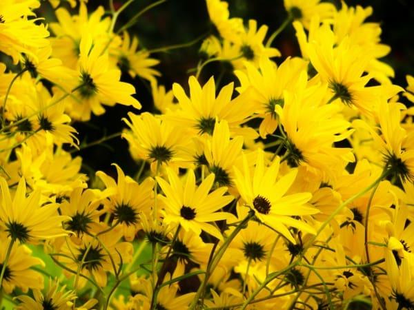 Mơ thấy hoa màu vàng đánh con gì?