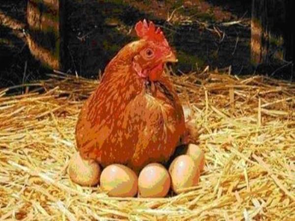 Ngủ mơ thấy gà đẻ trứng đánh con gì ? Là điềm báo gì ?